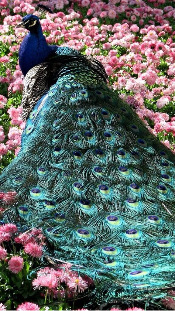 I love peacocks, they are amazing and beautiful creatures.  Their colours are so amazing