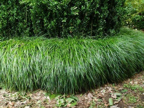 Liriope muscari 'Emerald Cascade'