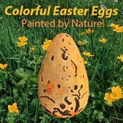 App name: Colorful Easter Eggs Painted by Nature!. Price: $0.99. Category: . Updated:  Apr 05, 2012. Current Version:  1.0. Size: 47.60 MB. Language: . Seller: . Requirements: Compatible with iPhone 3GS, iPhone 4, iPhone 4S, iPod touch (3rd generation), iPod touch (4th generation) and iPad.Requires iOS 4.0 or later.. Description: In many cultures eggs are cons  idered a as a symbol of life a  nd fertility. For Easter, whic  h falls in the spring equinox   of the northern hemisphere,  llip…
