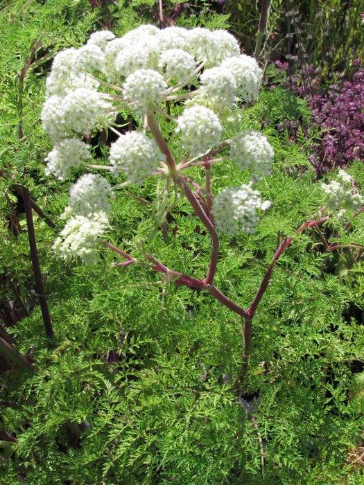 Selinum wallichianum  - Karwijselie met foto's en info over hoe stekken, zaaien, vermeerderen, wanneer bemesten.