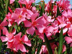 Oleander überwintern – So wird's gemacht