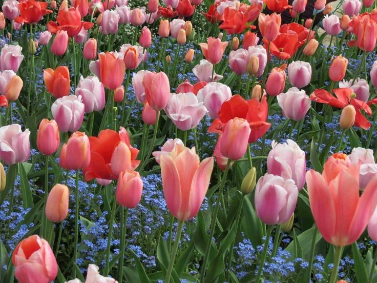Tulips heaven