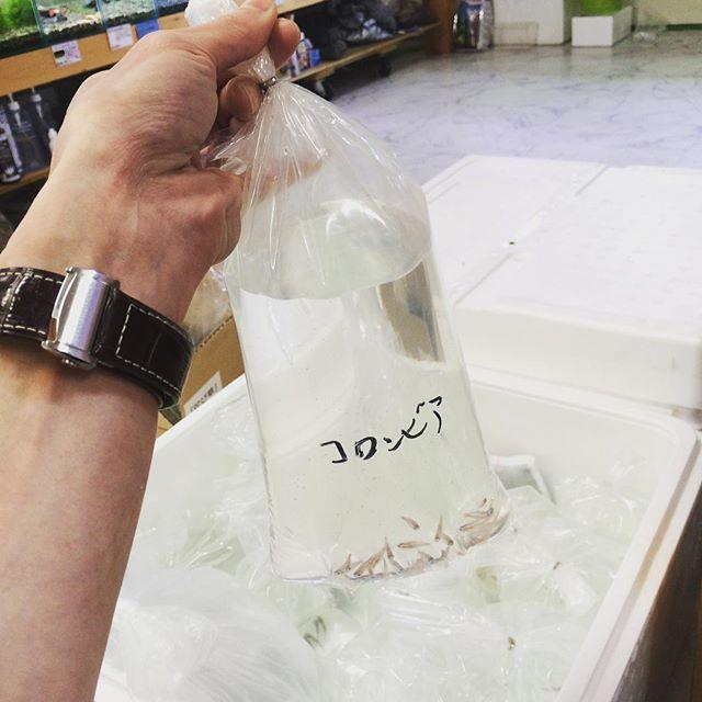 【swinginspace】さんのInstagramをピンしています。 《【お魚到着!】 どのお魚も、けっこう小さい袋に入って来ます(^ ^) 長旅でちょっと疲れているので、これから時間をかけて水槽に移します。 お魚の状態によっては薬を使って、しっかりトリートメント! 元気になってもらってから、皆さんの水槽に(^o^)/ #Swing'nSpace #スウィンギンスペース #アクアリウム #お魚到着 #トリートメント #まずは元気か確認 #遠いところからご苦労様m(__)m!》