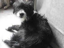 Joey, and Italian Greyhound/Bedlington Terrier Mix