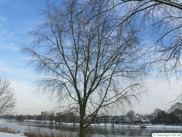 silver-maple-tree.jpg (600×450)