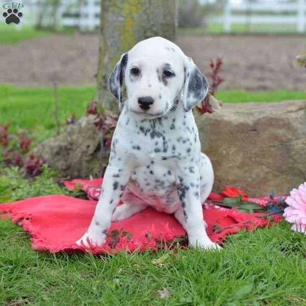 Silver Dalmatian Puppy For Sale In Ohio Dalmatian Puppies For