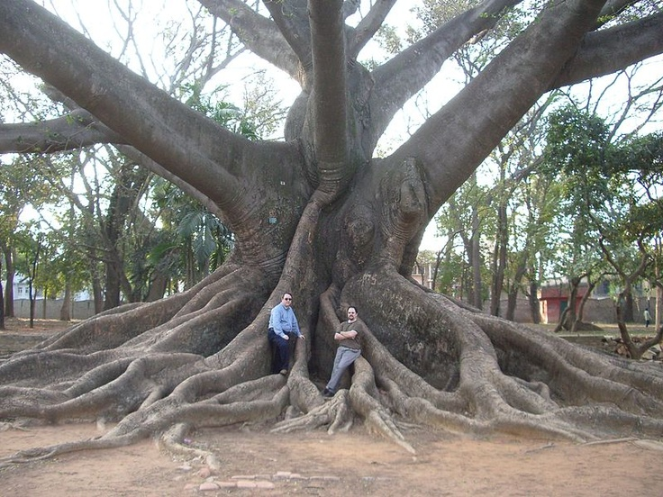 Kapok Tree. Very cool one still exists in Clearwater, FL ...