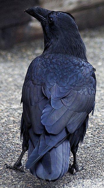 NATURE'S PAINTBOX — raven (via Pinterest)