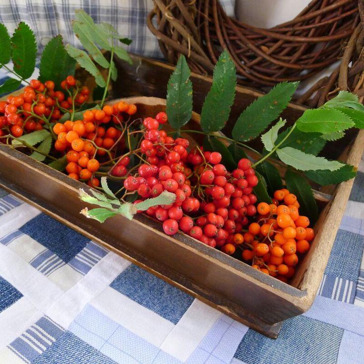 Rowan berries - Mias landliv
