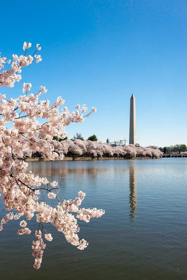The 2021 Guide To Washington Dc Cherry Blossom Peak Bloom Pink Blossom Tree Cherry Blossom Tree Cherry Blossom