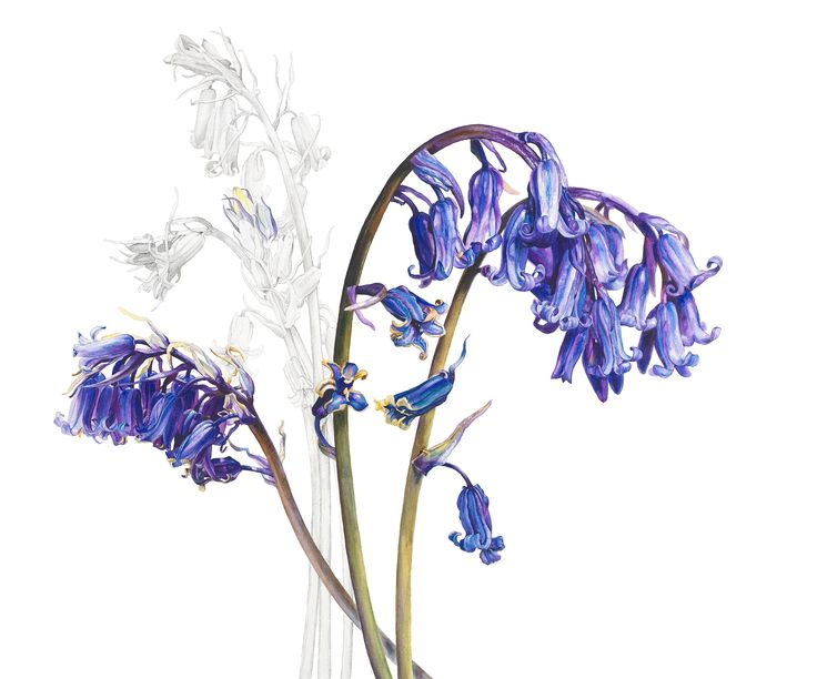 botanical paintings blue bells - Rosie Sanders