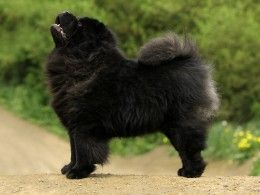 Chow Chow Dog Breed Information, Facts, Photos, Care | Pets4Homes