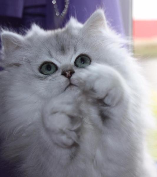 Wir haben reinrassige, süße, verspielte Kätzchen ( 4 Mädchen), geboren am 30.09.15, die Abgabe bereit sind. Sie sind in unserer liebevolle Familie mit Kinder und anderen Katzen aufgewachsen. Die kleinen sind gesund, stubenrein, mehrmals entwurmt, ärtztlich untersucht und 2 Mal geimpft. Wenn Sie Interesse haben, einfach anrufen oder mailen. Mob. 01794880009 oder 07425/2195905