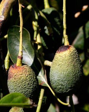 Una gustosa ricetta originale per arricchire i vostri pranzi: il pesto di avocado...mai più senza!