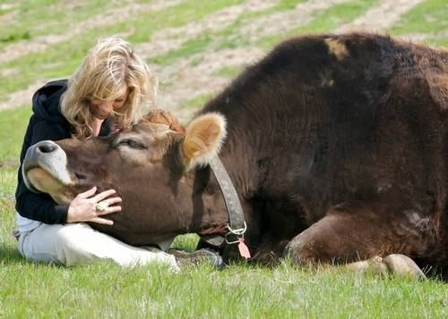"""earthandanimals:  violentbaudelaire:  """"This is my favorite photo in the world - me and Linus, born to a dairy cow and ordered to be killed when the farmer saw he was a male (and thus useless in the dairy industry). A compassionate individual intervened, and he was brought to a sanctuary. I met him when he was a few days old and 60 pounds, and he would always try to sit on my lap. Today, 7 years young and 1500 pounds, he still tries to sit on my lap.""""  - Colleen Patrick-Goudreau  I freakin'…"""