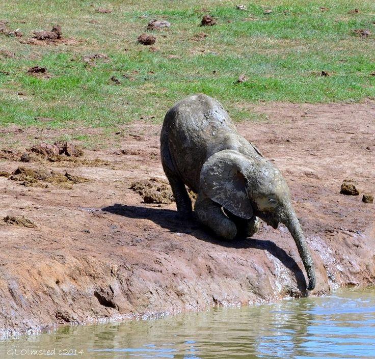 Young elephant at Addo Elephant National Park South Africa. http://geogypsytraveler.com/2014/08/08/foto-friday-fun-71/