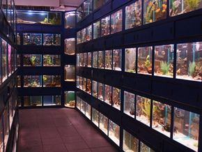 Looking past some of our tropical community fish.