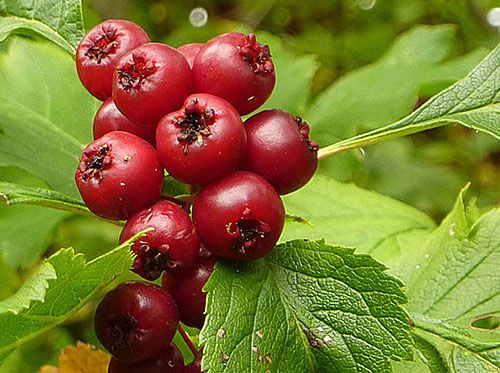 Hawthorn - the application - herbal medicine, natural remedies ...