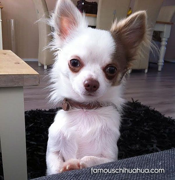 Meet Gucci A Happy Long Haired Chihuahua Puppy From The