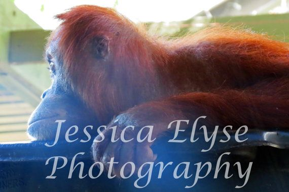 close up photograph of an orangutan looking by jessicaelysephotos, $30.00