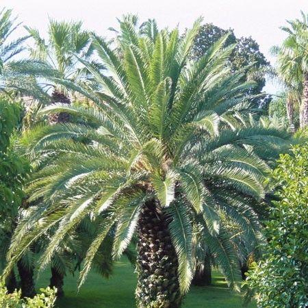Un des plus beaux palmiers avec ses grandes feuilles. Rustique jusqu'à -10°C.