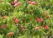 BIO broskyne #peaches