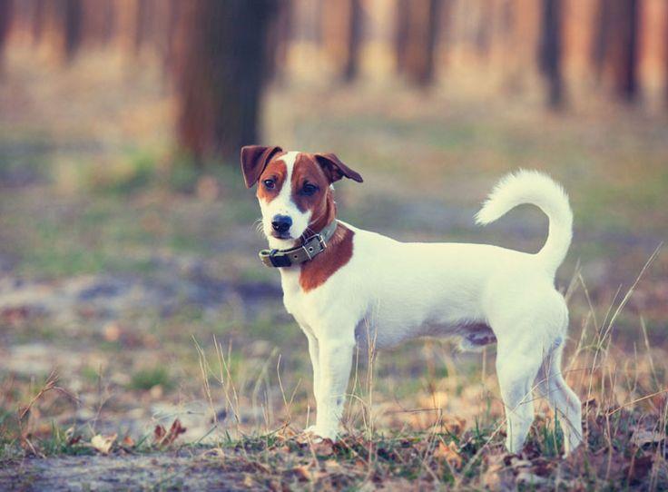 Jack Russell Terrier im Rasseportrait