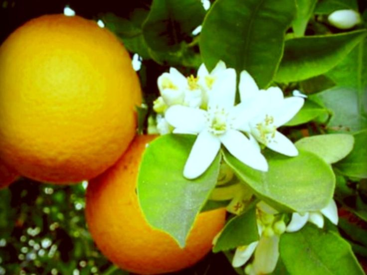 Florida State Flower The Orange Blossom Proflowers