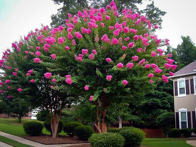 'Sioux' is a pink Crape Myrtle cultivar. This semi-dwarf tree is 12-14' tall or so and 12' wide with good mildew resistance.