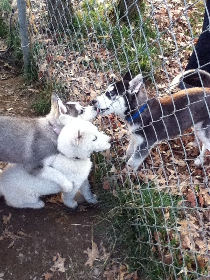 husky puppies and a fence