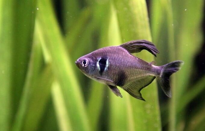 Pin By Adagio Images On Animal Kingdom Tetra Fish Cool Fish Tanks Freshwater Aquarium Fish