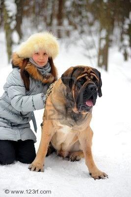 Mastiff english-mastiffs