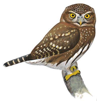 Northern Saw-whet Owl   Audubon Field Guide