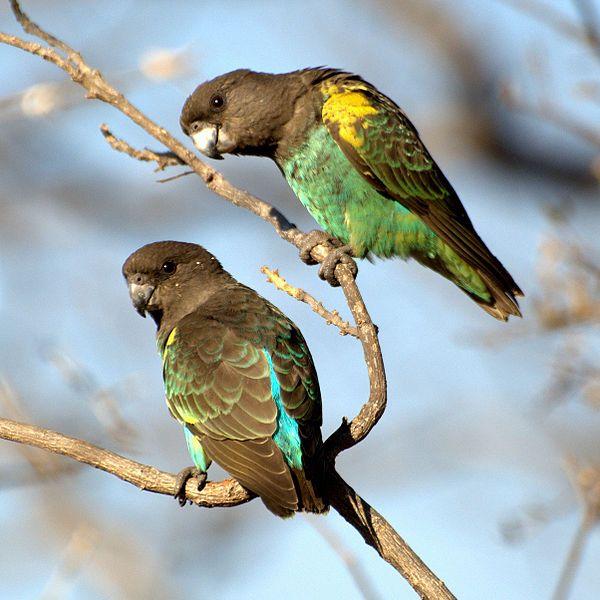 Meyer's Parrot, Poicephalus meyeri. Zimbabwe.