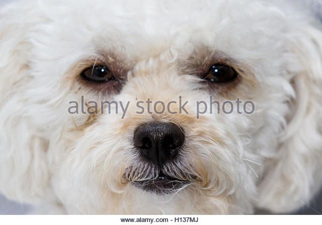 Close Up Toy Poodle Puppy Stock Photos & Close Up Toy Poodle Puppy ...