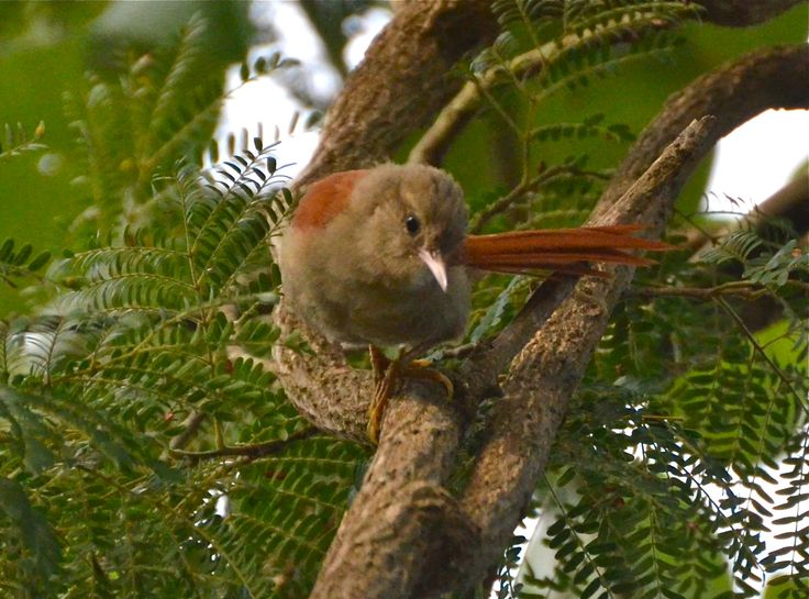 Gray-Headed Spinetail, Caetité, Bahia
