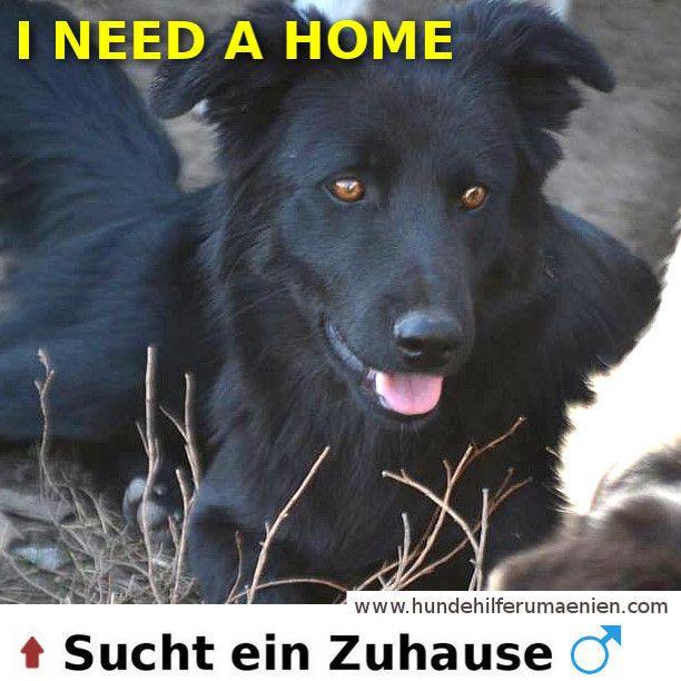 Pancho sucht ein Zuhause ⭐ ⭐  https://hundehilferumaenien.com/Pancho/ ⭐ ⭐  Geboren ca. 06.03.2017 Pancho wurde an einem regnerischen Tag auf dem Feld gefunden. Er war sehr dünn und hungrig. Er ist sehr zutraulich und verspielt. Pancho ist intelligent und versteht sehr schnell was man von ihn möchte. Er ist verträglich mit anderen Hunden und Katzen ⭐ ⭐  #animalsnewlife #cutenessoverload #instagoods #chill #zuhausegesucht #suchezuhause #Rescue #streetdogs #tierschutz #hundevermittlung…