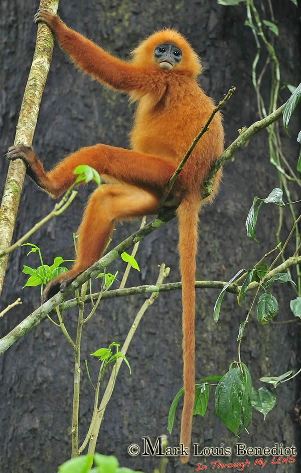 Danum Valley - Red Leaf Monkey