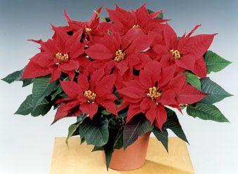 Julestjerne (Euphorbia pulcherrima) hører til i Vortemelkfamilien / Euphorbiaceae