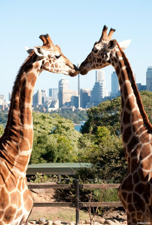 nothing make me smile than this <3 full of love giraffe couple
