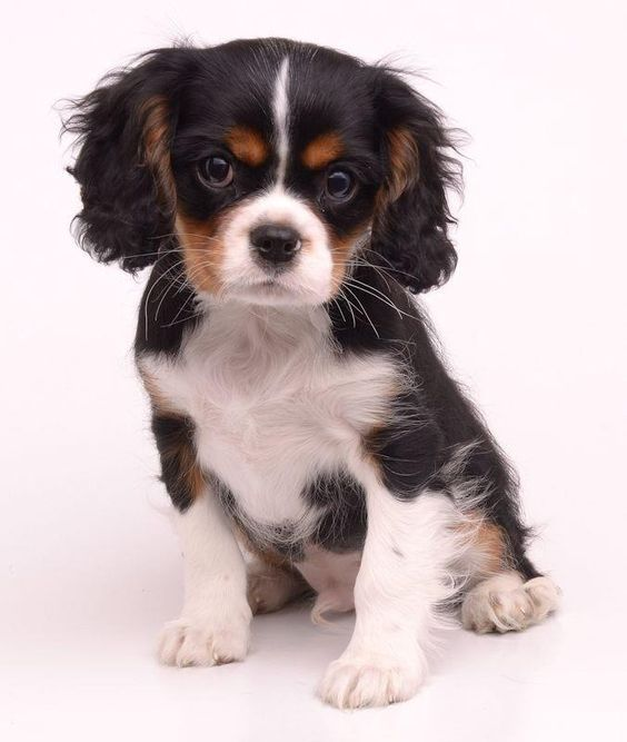 Pin by Snvnorris on Cute puppies King charles cavalier