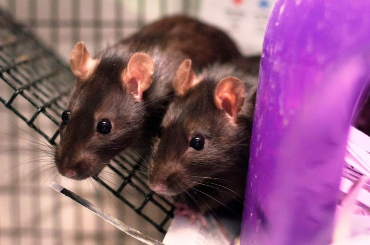 Vivisectors have found that tickling rats helps them endure painful injections. But why are these smart, sensitive animals experimented on at all?