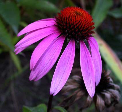 Butterfly Garden | Nectar plant | Perennial | 2-5 ft high | Sun part shade |  Purple coneflower ... not just a pretty flower - Lexington Gardening | Examiner.com