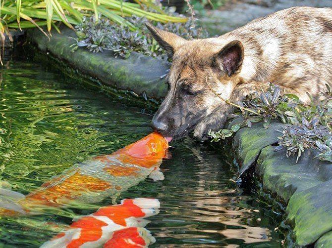 lКаждый раз, когда Голландская овчарка Вибе приходит домой с прогулки, она пьет из пруда. В то же самое время, после прогулки владелец Вибе — Дорри Ейдсерманс, кормит рыб. В конечном итоге, рыбы начали всплывать на поверхность, чтобы подтвердить, что они осознают присутствие овчарки. Очень часто Вибе целует карпов.