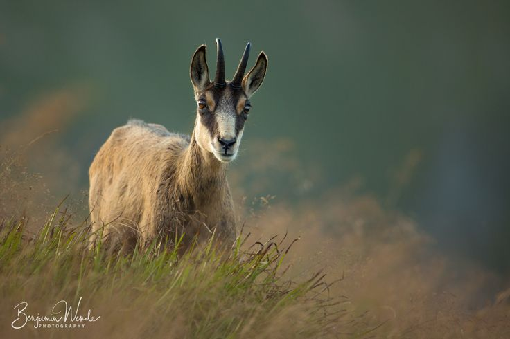 """Chamois - <a href=""""https://www.facebook.com/benjamin.wende.photography"""">Facebook</a> A wild Chamois in the french Vosges."""