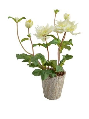 49% OFF New Growth Designs Potted Hellebore