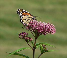 Rode zijdeplant met een monarchvlinder - De soort prefereert vochthoudende gronden en groeit het beste in de zon tot halfschaduw. De plant wordt vaak gevonden nabij de randen van plassen, meren, stroompjes, in laaggelegen gebieden en langs greppels.