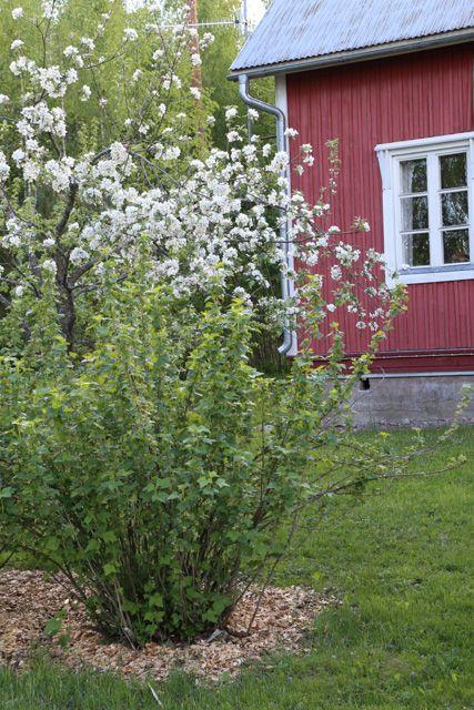 Piha kesäkuussa // My garden in June