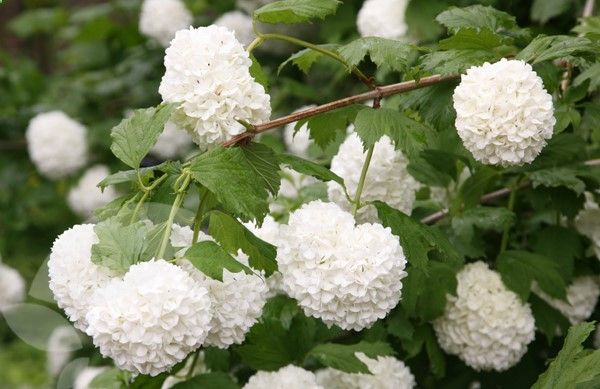 Gardening Autumn - Viburnum opulus la boule de neige très bel arbuste - With the arrival of rains and falling temperatures autumn is a perfect opportunity to make new plantations