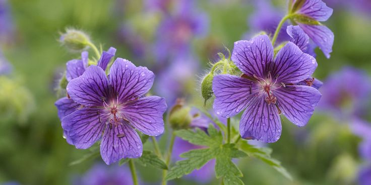 Hardy Geraniums – This useful plant does well, even in dry shade. G. endressii and G. x oxonianum can be pretty thuggish and self-seed freely, but G. macrorrhizum, G. phaeum and G. versicolor make good ground-cover plants in full or partial shade.
